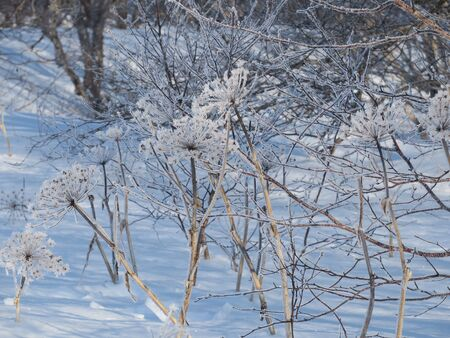 sagebrush covered with snow in the forest Stok Fotoğraf