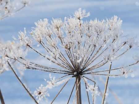 Hogweed covered with snow in the forest, close up