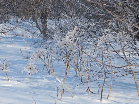 Hogweed covered with snow in the forest