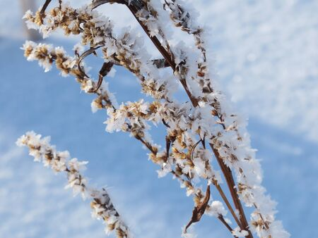 The branches of the tree are covered with hoarfrost. Abstract pastel winter background. Branches covered with frost, on a blue sky background.