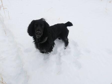 English Cocker Spaniel running through snow. Funny black puppy