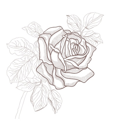 Hand drawing beautiful rose card isolated on white background   Vector