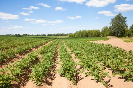 Rows of potatoes on the farm field. Cultivation of potatoes in Russia. Landscape with agricultural fields in sunny weather. Stok Fotoğraf