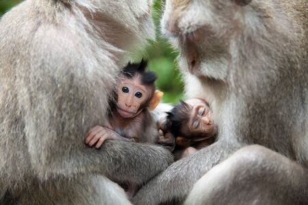 Monkey family. Monkey mothers and their cubs sit together. monkey family at sacred monkey forest Ubud Bali Indonesia. Monkey mothers and their cubs sit together. Stock Photo