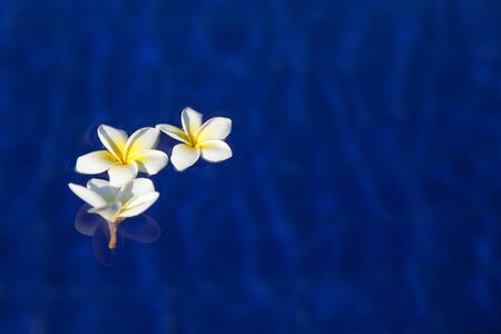 white frangipani flowers in blue water. flowers of white plumeria frangipani in blue water on the swimming pool with the sun shine. Bright colorful photo. Concept of summer vacation relax spa and harmony