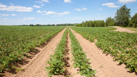 Rows of potatoes on the farm field. Cultivation of potatoes in Russia. Landscape with agricultural fields in sunny weather. Landscape with agricultural fields in sunny weather. A field of potatoes in the countryside. Stok Fotoğraf