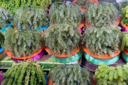 Close-up of freshly harvested green seaweed in portions on plates sold at the Central Wet Market in Puerto Princesa City, Palawan, Philippines. algae in the market. Grapes seaweed, healthy sea food Banco de Imagens