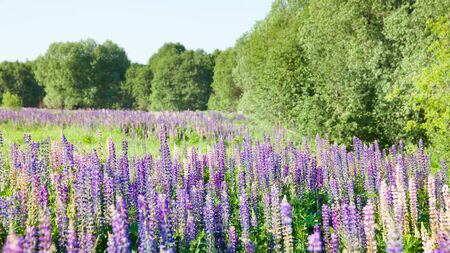 Blooming lupine flowers. A field of lupines. Violet and pink lupin in meadow. Colorful bunch of lupines summer flower background or greeting card. 写真素材