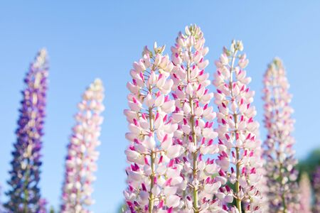 Blossoming pink lupin flowers against blue sky background. Colorful bunch of lupines summer flower background or greeting card.