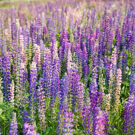 Blooming lupine flowers. A field of lupines. Violet and pink lupin in meadow. Colorful bunch of lupines summer flower background or greeting card. Imagens