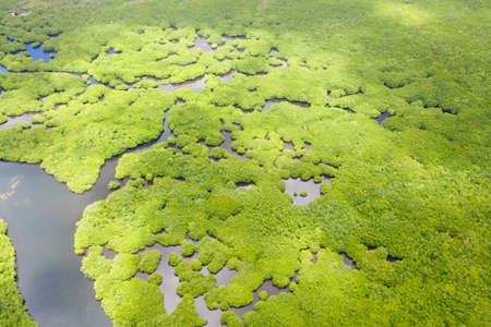 Mangroves, top view. Mangrove forest and winding rivers. Tropical background. The nature of the Philippines.