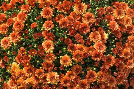 Bright orange summer floral background of spray chrysanthemum. Imagens - 131119009