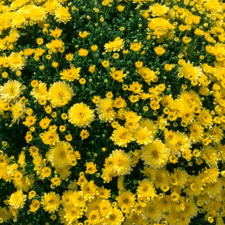 Bright summer yellow floral background of spray chrysanthemum. Imagens - 131119325