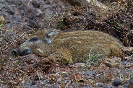 Young wild boar sleeping in the shadow photo