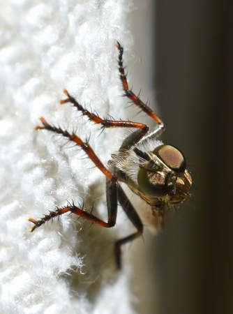 gadfly: Gadfly sits on the curtains visible facet eyes legs proboscis