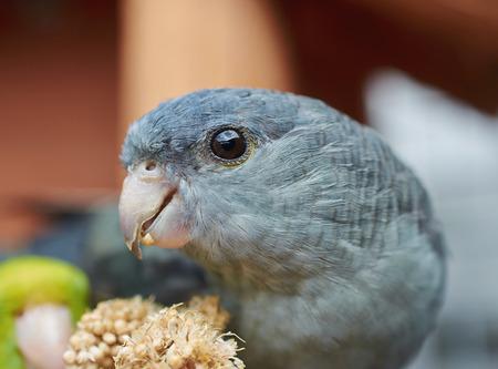 periquito: Portrait of a gray Barred parakeet (Bolborhynchus lineola) Close up. Foto de archivo