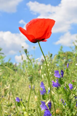 breezy: Very beautiful and delicate red poppy grows in a field in a sunny breezy day