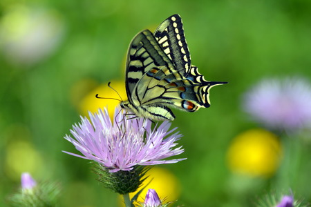 sucks: Tiger Swallowtail butterfly sucks nectar of lilac flower in a countryside field