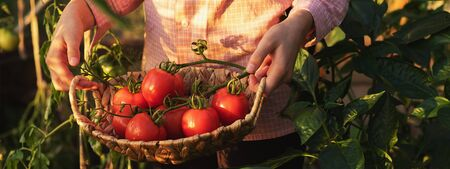 Gardening and agriculture concept. Greenhouse products. Production of plant products. Growing tomatoes in a greenhouse. Girl picking tomatoes in a basket Фото со стока