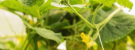 Growing cucumbers and harvesting. Organic production. Ecological products. Home greenhouse