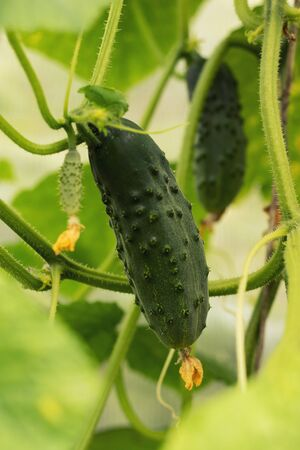 Growing cucumbers and harvesting. Organic production. Ecological products. Фото со стока