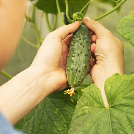 Growing cucumbers and harvesting. Organic production. Ecological products. 스톡 콘텐츠