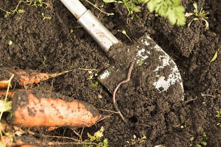 Raw carrots on the ground. Harvesting carrots with the earth lies on the bed. Root crop cultivation, green production