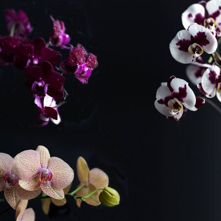 Three different orchids on a square black background. Collage of phalaenopsis. Flowers are yellowish pink, purple and white with lilac spots color. Copy spase.