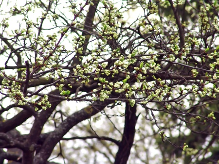 Spring background with apple tree branches in blossom.                            photo