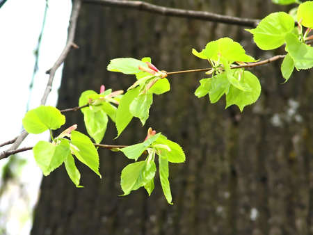 limetree: Background with spring lime-tree leafs.