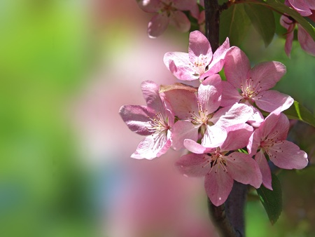 Spring background with apple tree pink flowers.