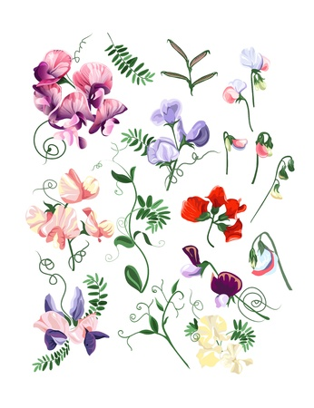 sweet pea: Colorful realistic set of sweet pea flowers and leafs.