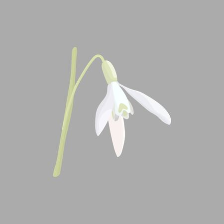 Snowdrop - Galanthus nivalis. Hand drawn vector illustration of delicate white wildflower. 矢量图像