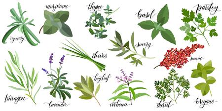 Conjunto de hierbas culinarias populares con nombres escritos a mano. Romero, mejorana, tomillo, albahaca, perejil, cebollino, ajedrea, zumaque, estragón lavanda laurel verbena perifollo orégano
