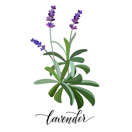 Lavender flower in flat style. Hand written text.