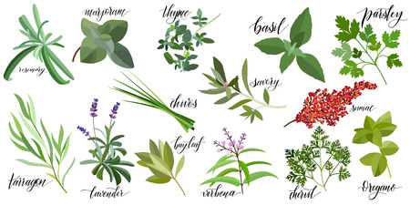 Set of popular culinary herbs with hand written names. Rosemary, majoram, thyme, basil, parsley, chives, savory, sumac, tarragon lavender bay leaf verbena chervil oregano 免版税图像 - 105419592