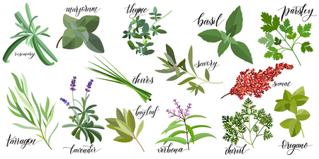 Set of popular culinary herbs with hand written names. Rosemary, majoram, thyme, basil, parsley, chives, savory, sumac, tarragon lavender bay leaf verbena chervil oregano Banque d'images - 117031564