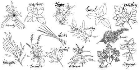 Conjunto de hierbas culinarias populares con nombres escritos a mano. Romero, mejorana, tomillo, albahaca, perejil, cebollino, ajedrea, zumaque, estragón lavanda laurel verbena perifollo orégano Ilustración de vector