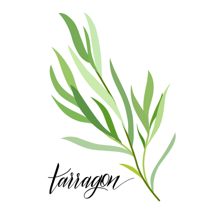 Tarragon in flat style. Hand written text. Vector