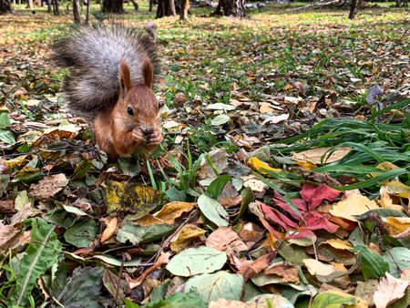 Squirrel in autumn foliage eating nuts. High quality photo