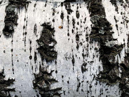 Birch bark black and white texture. High quality photo