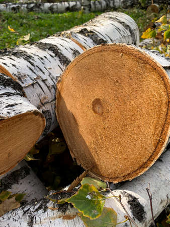 Birch log. Tree cut. High quality photo
