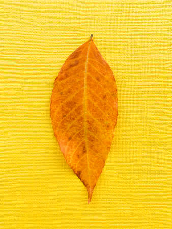 Autumn leaf on a yellow paper background. Brown leaf. High quality photo 版權商用圖片 - 156352863