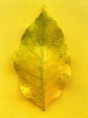 Autumn yellow leaf on a yellow paper background. High quality photo 版權商用圖片 - 156736525