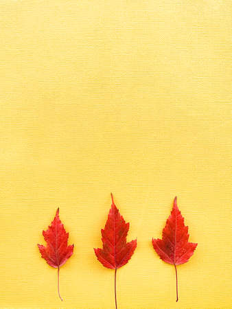 Autumn leaves on a yellow paper background. Three red leaves on paper. Frame with leaves. High quality photo 版權商用圖片