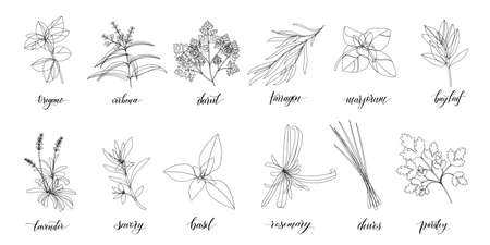 Popular Culinary Herbs and spices big set. Isolated objects. Vector flat illustration. For health care, store, cosmetics, health care, food design Vecteurs