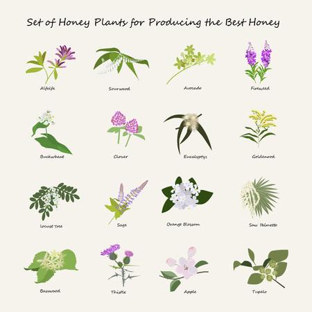 alfalfa: Honey planty set for produsing the best honey. Flowers eps10 vector illustration. Illustration