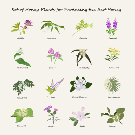 Honey planty set for produsing the best honey. Flowers eps10 vector illustration. Illustration