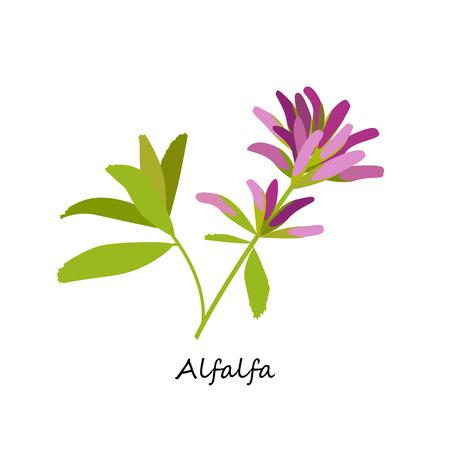Alfalfa, Medicago sativa.