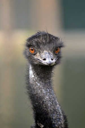 Portrait of an Emu at the zoo, August 2017